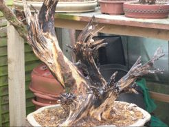 In the Workshop scabby juniper Image 3
