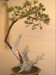 In the Workshop scabby juniper Image 4