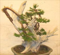 In the Workshop scabby juniper Image 5