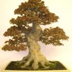 Japanese Trident Maple Image 1