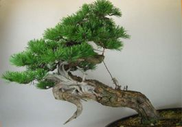 In the Workshop Caledonian Pine Image 2