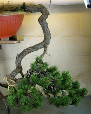 In the Workshop Cascade Mugo Pine Image 2