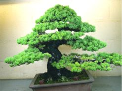 In the Workshop A Classic Bonsai Image 1
