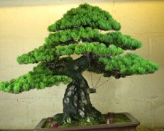 In the Workshop A Classic Bonsai Image 6