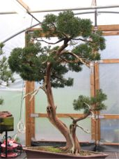 In the Workshop Japanese juniper Image 1