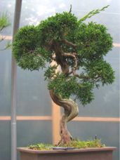 In the Workshop An Interesting Little Juniper Image 1