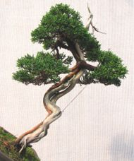 In the Workshop An Interesting Little Juniper Image 2