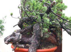 In the Workshop Mugo Pine Image 2