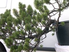 In the Workshop Mugo Pine Image 1