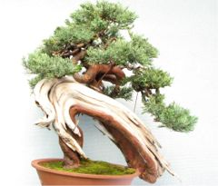 In the Workshop An old Yamadori Juniper Image 2