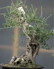 In the Workshop Olive (olea oleaster) Image 1