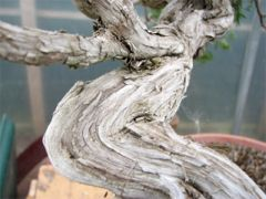 In the Workshop Yamadori sabina juniper Image 2