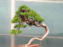 In the Workshop Yamadori sabina juniper Image 4