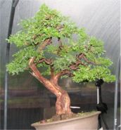 In The Workshop San Jose Juniper Image 2