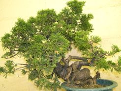 In the Workshop A Taiwanese shimpaku juniper Image 1