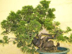 In the Workshop A Taiwanese shimpaku juniper Image 1