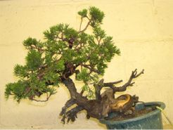In the Workshop A Taiwanese shimpaku juniper Image 2