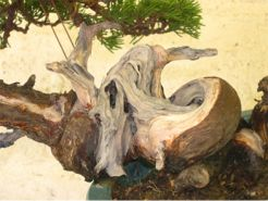 In the Workshop A Taiwanese shimpaku juniper Image 4