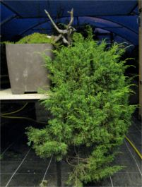 In the Workshop Yamadori Juniper Image 1