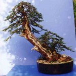 Plucking Yew Image 2