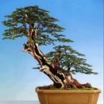 Plucking Yew Image 3
