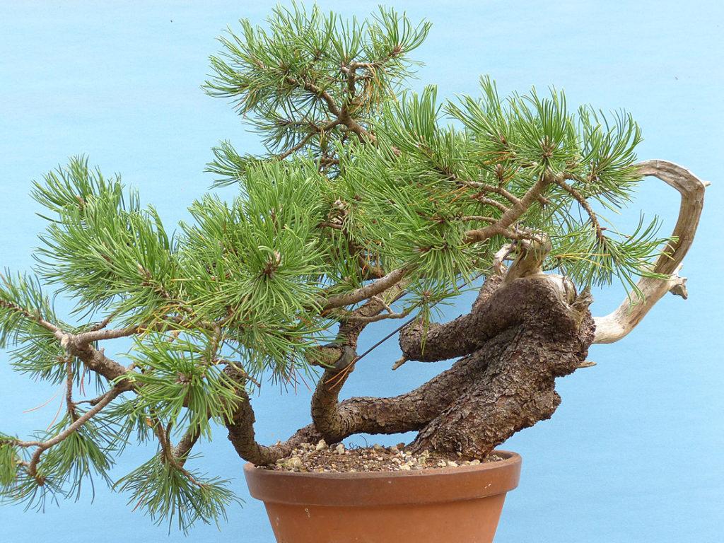 August 2018 successful mugo pine air layer.