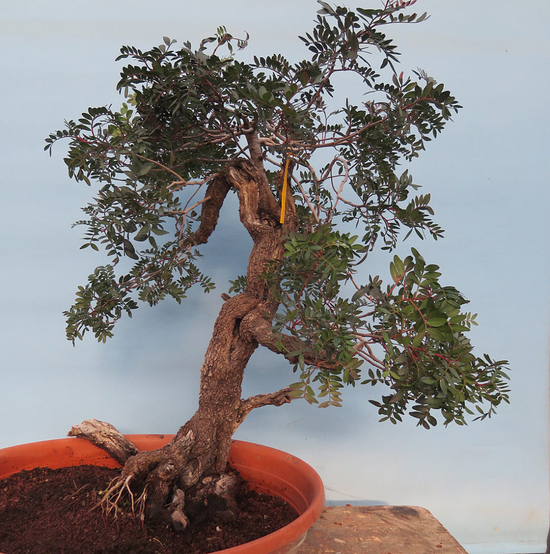 Another Delivery Of New Bonsai Stock Kaizen Bonsai Blog