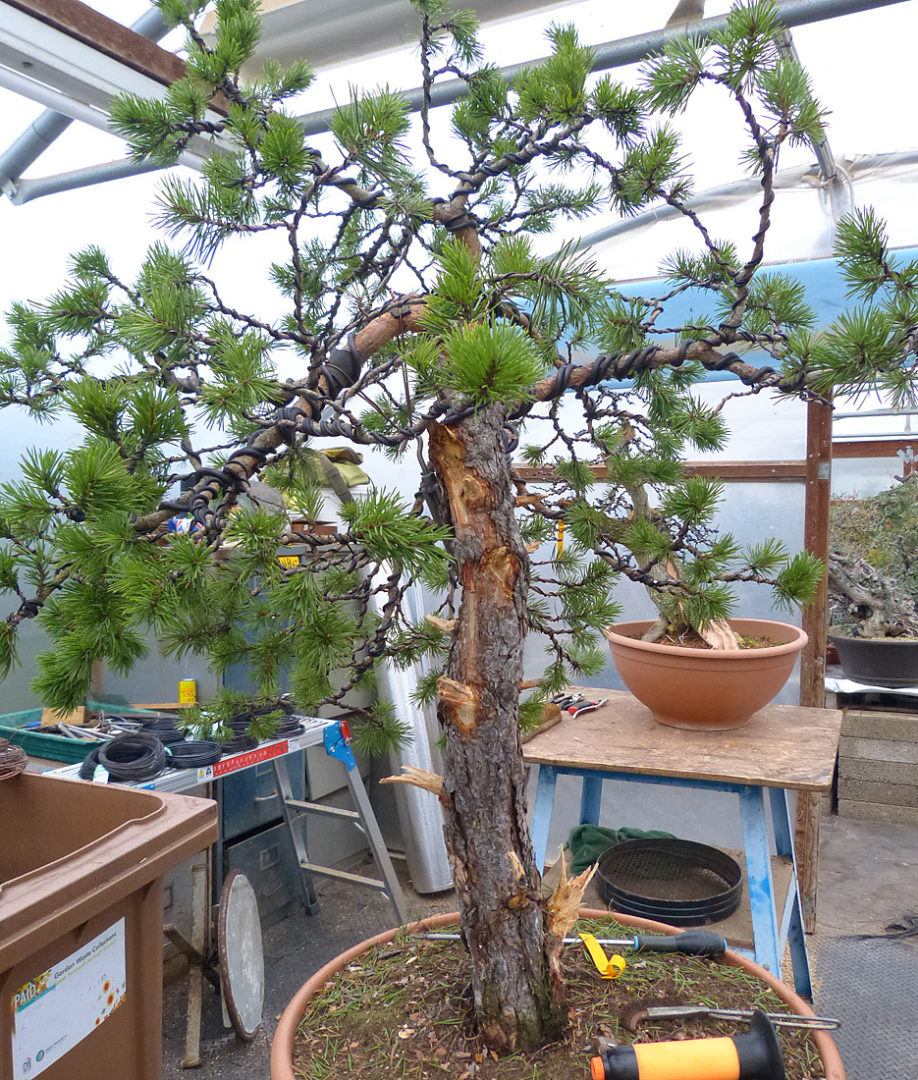Bonsai Tree Care Blog From Kaizen Chinese Elm Wiring Friday Most Of The Day Spent