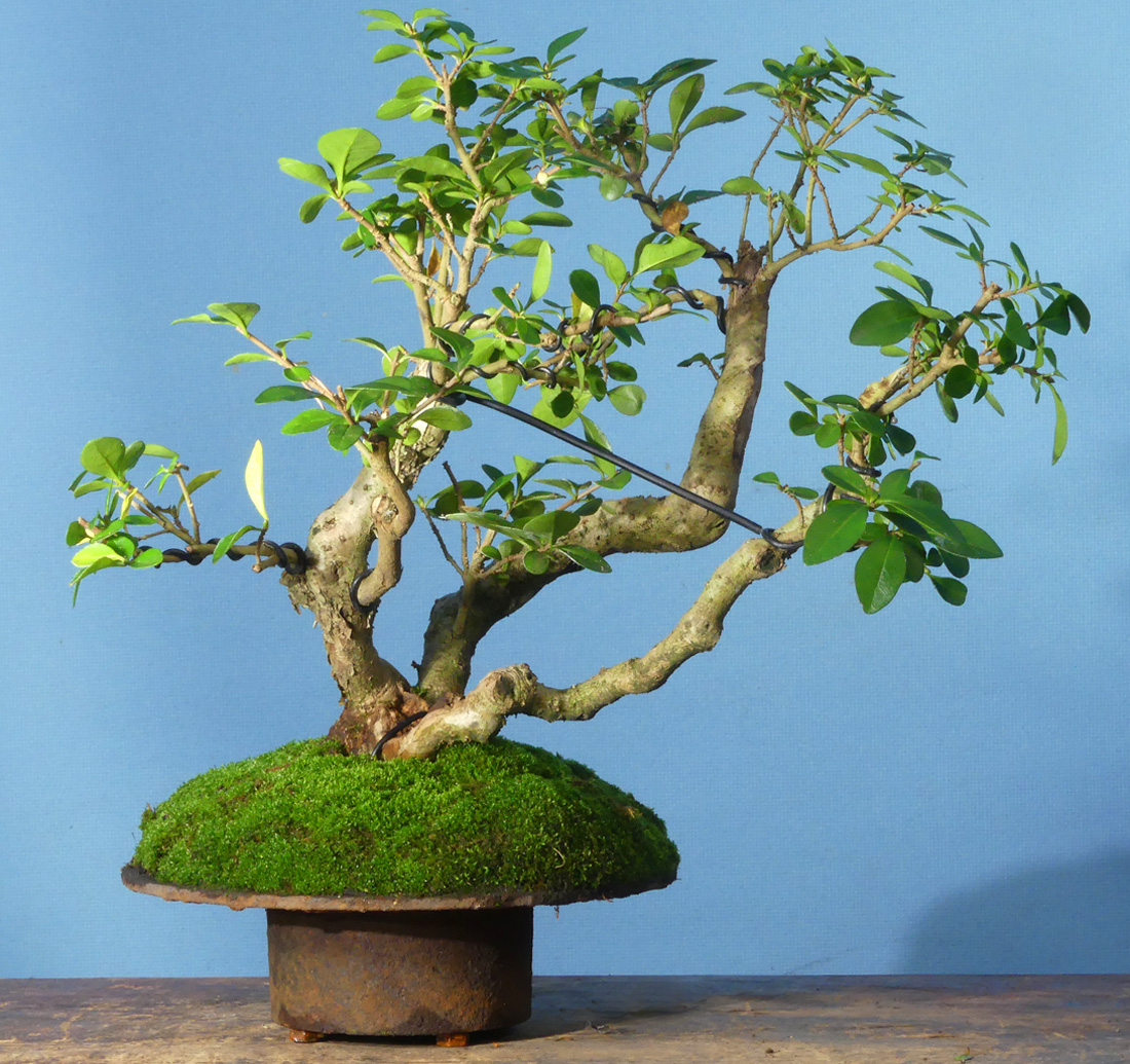 Privet bonsai, unusual pot