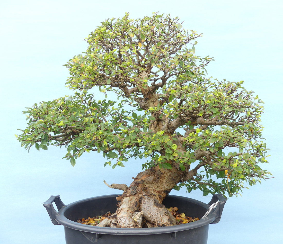 Chinese elm tree ready for re-potting