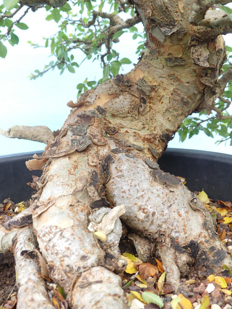 Chinese elm tree flaking bark