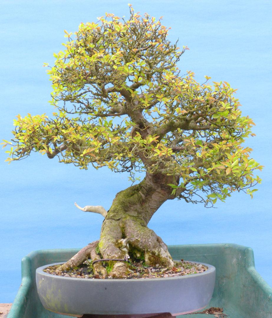 Old but weak Chinese elm tree bonsai needing help