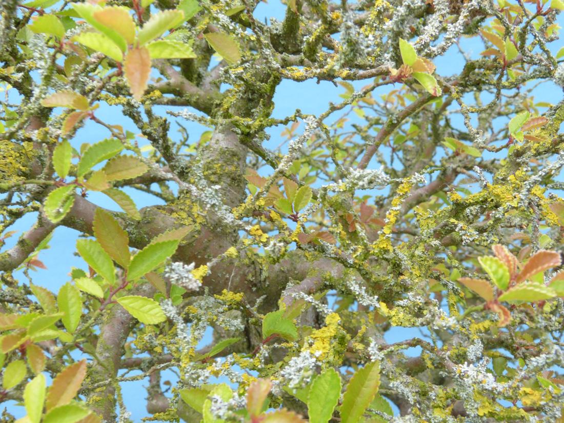 Chinese elm tree poorly weak growth