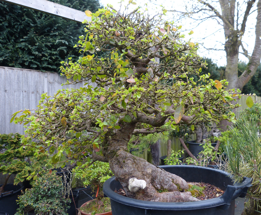 Chinese elm tree starting to grow in spring
