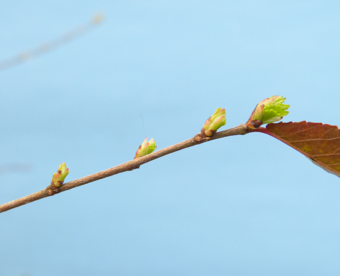 Chinese elm tree buds opening in spring.