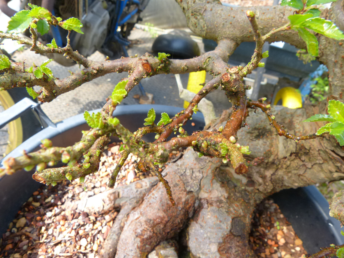 Chinese elm tree back budding.