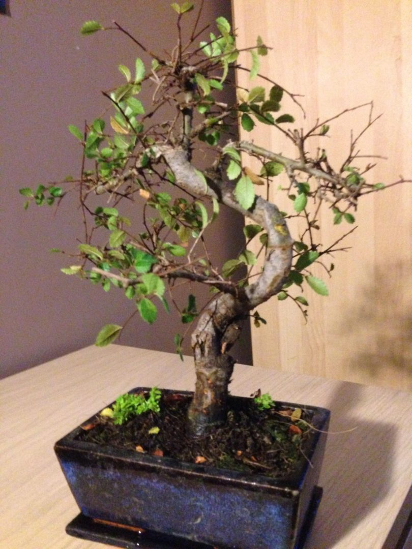 Missing The Point Re Potting Bonsai Kaizen Bonsai Blog