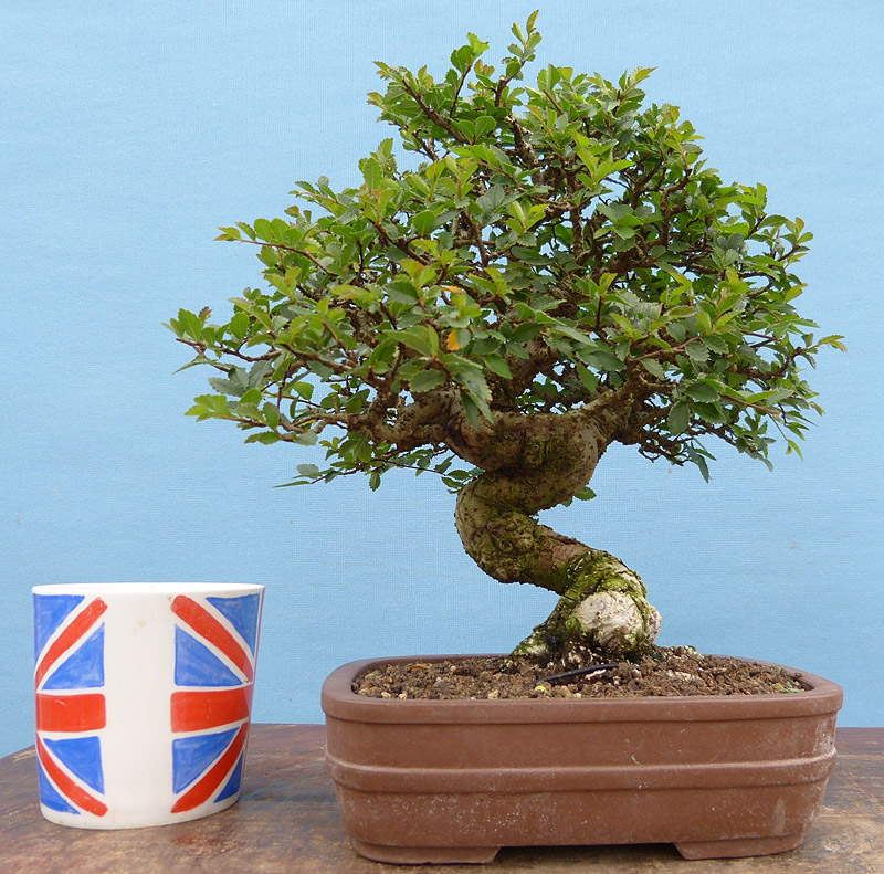 A mature Chinese elm bonsai tree. Repotting bonsai