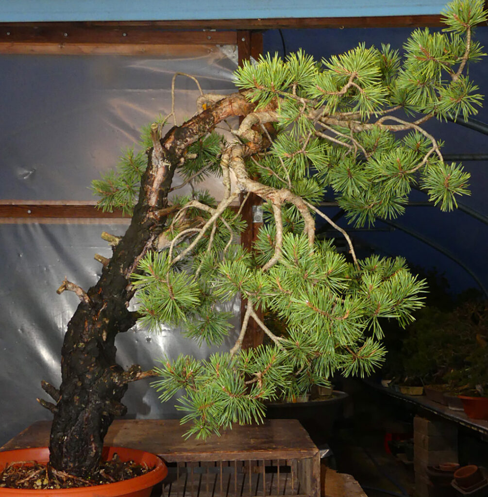Scots Pine Bonsai Development