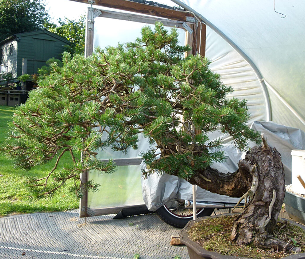 Scots pine yamadori bonsai after a decade.