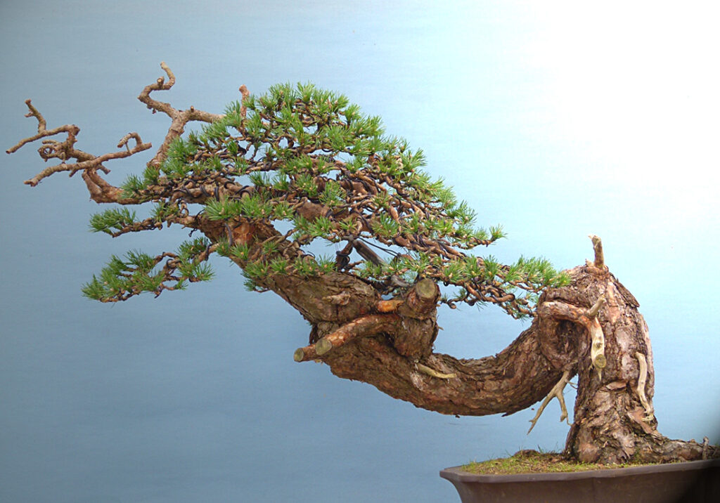 Yamadori scots pine bonsai tree. Kevin Willson Bonsai Collaboration