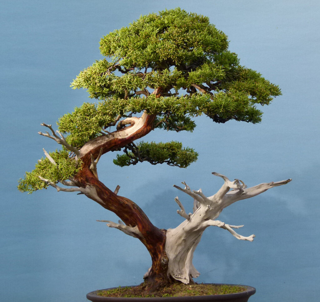The Triffid's Return-Garden Juniper Bonsai Tree
