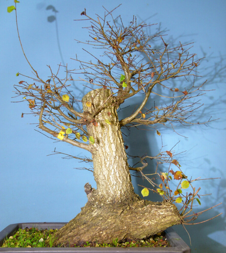 Life Can Hit Us All Pretty Hard Sometimes - Field elm bonsai material. What to do?