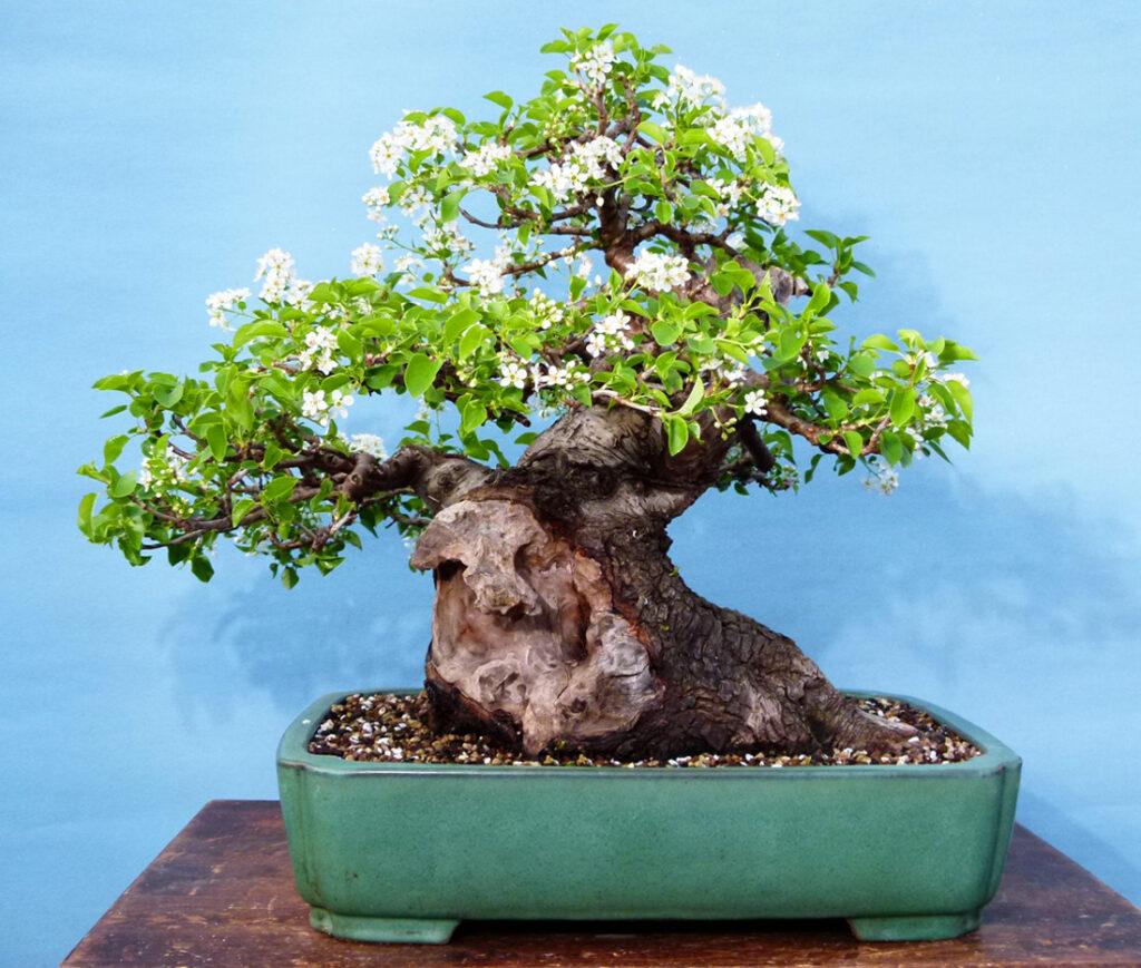The Irony of My Life. Cherry bonsai tree yamadori.