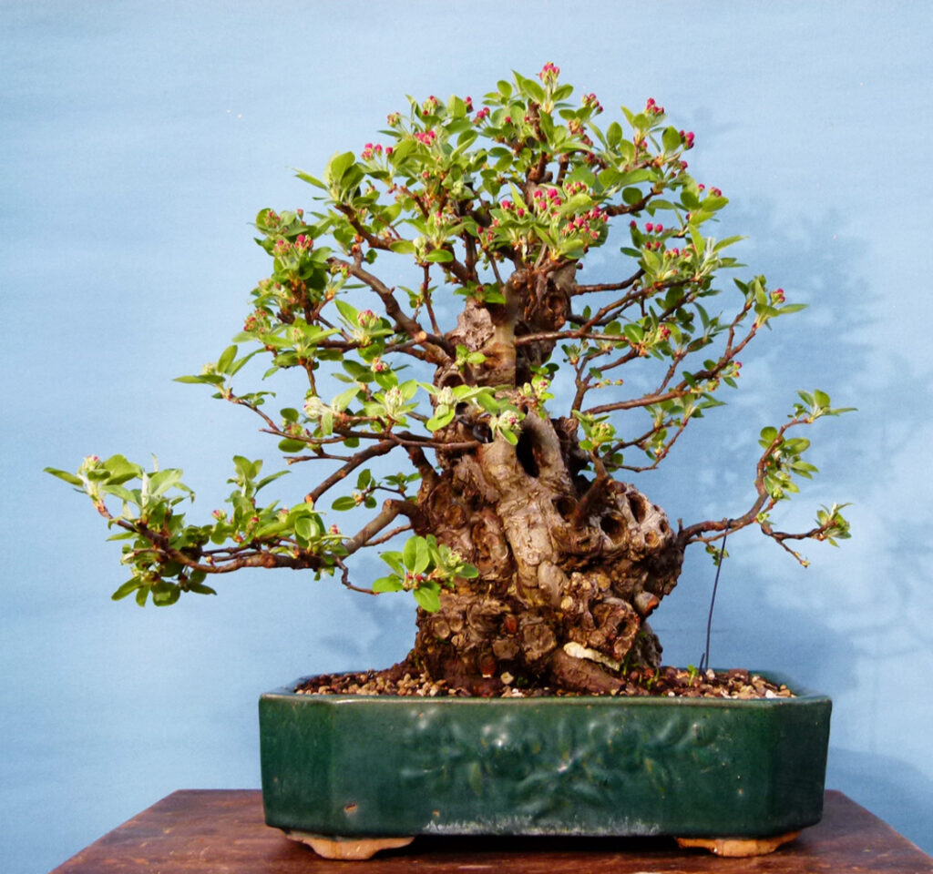 The Irony of My Life.Crab apple bonsai