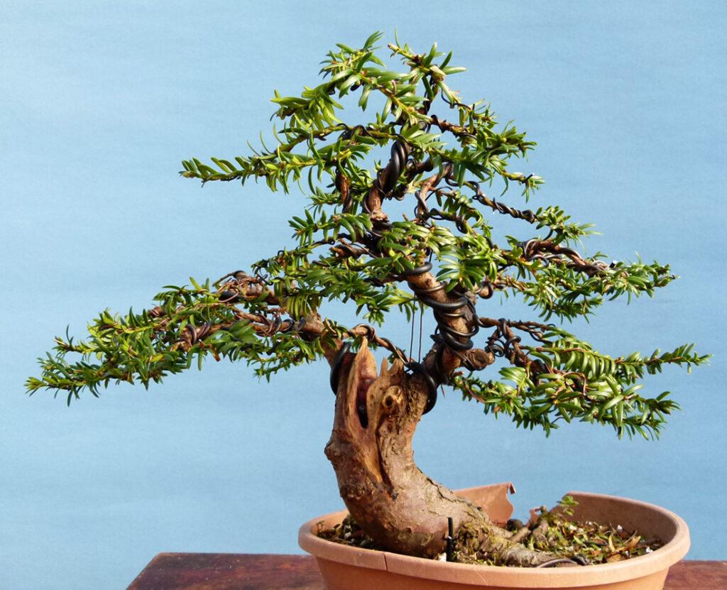 Yew tree Bonsai