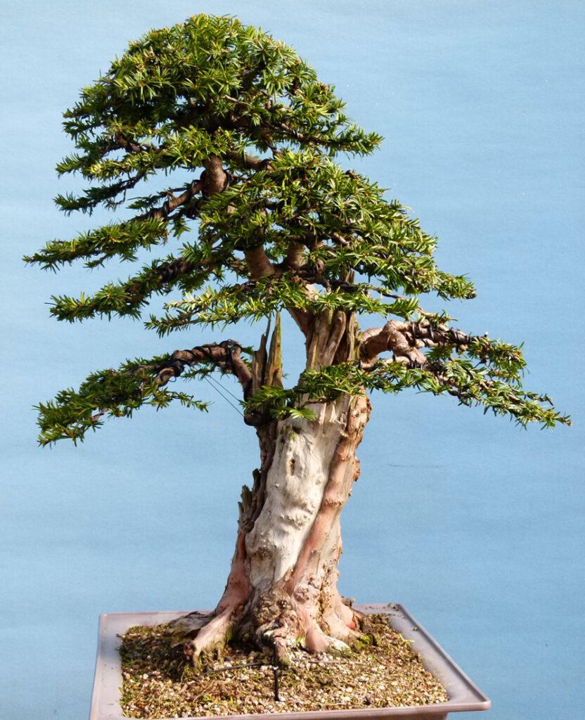 Yew tree bonsai.