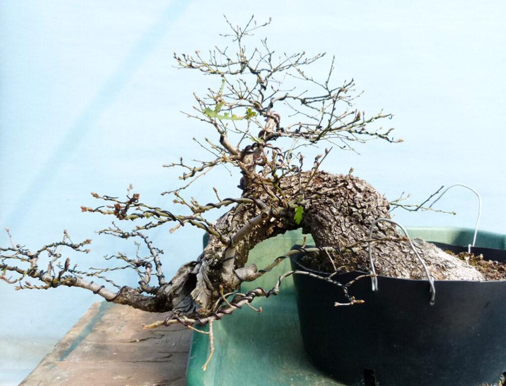 Yamadori oak bonsai.