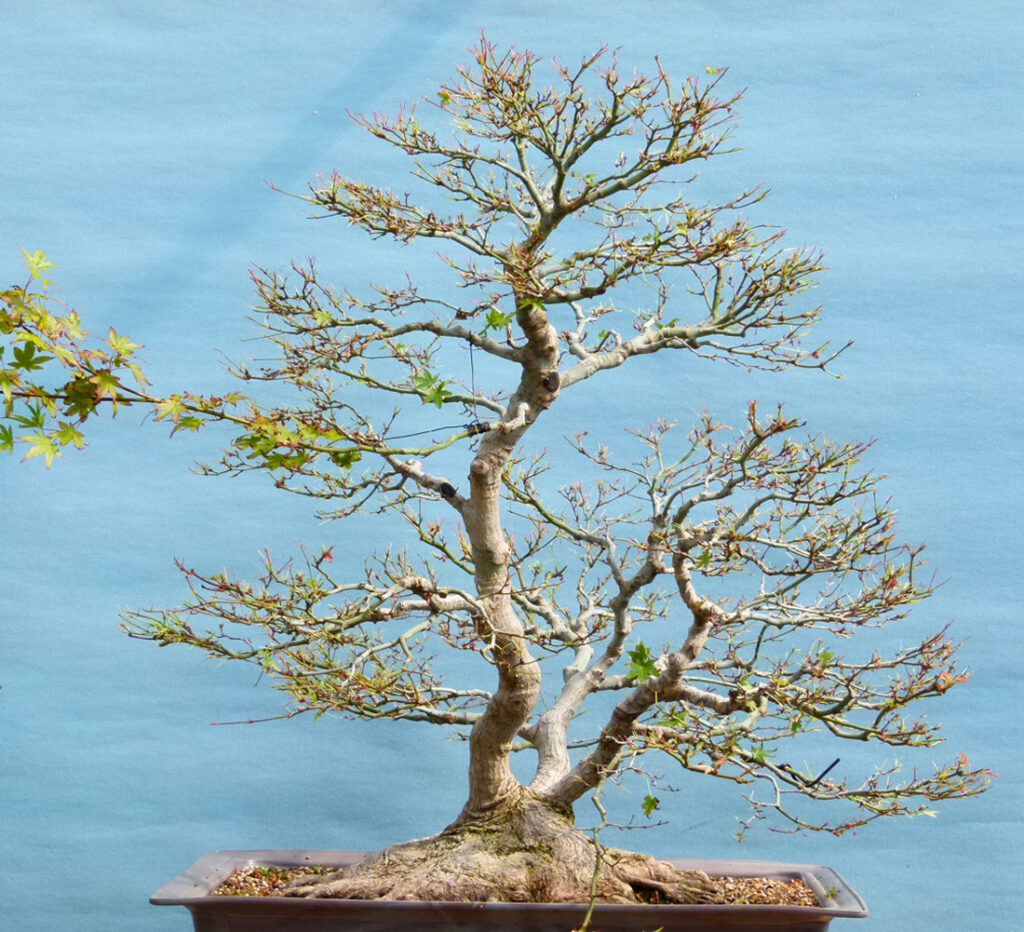 Defoliation - What You Need To Know. Japanese maple upon completion.
