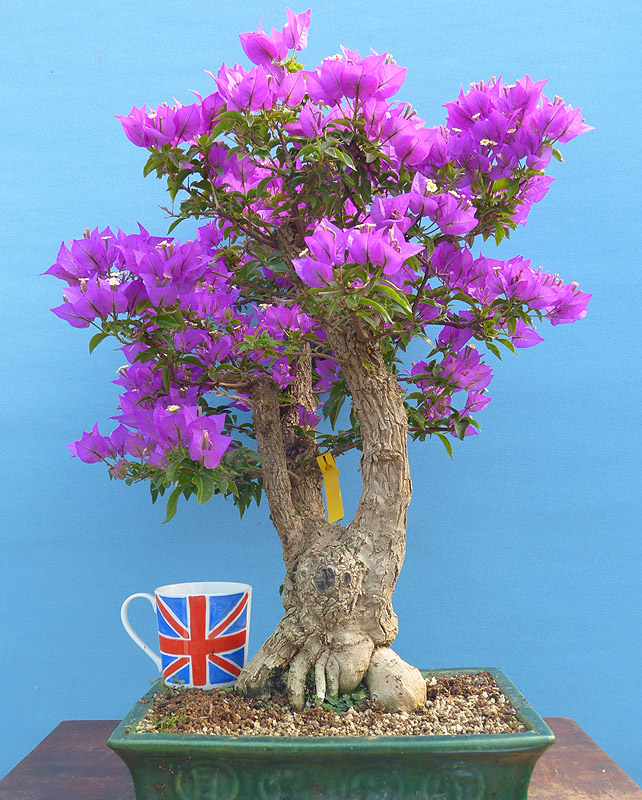 Bonsai trees for sale indoor and outdoor bonsai starter for Plants for sale